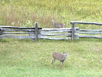 deer; Actual size=240 pixels wide